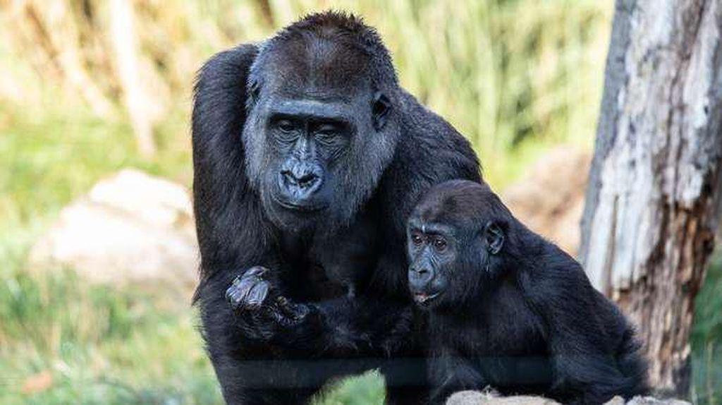 Gorila Kebun Binatang di AS Positif COVID, Diduga Tertular dari Petugas