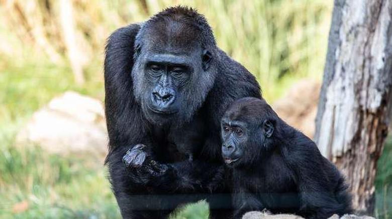 gorila di london zoo