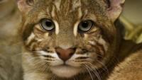 Sekilas melihat dan membaca namanya, kucing emas memang masuk ke dalam keluarga kucing. Diketahui, kucing emas merupakan satu dari 9 jenis kucing hutan. Dari sisi ukuran, kucing emas sedikit lebih kecil dibanding macan dahan dan lebih besar dibanding kucing kampung (istimewa)