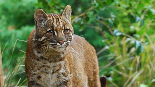Memiliki nama latin Catopuma temminckii, kucing emas merupakan fauna yang disebut langka. Menurut Lembaga internasional untuk konservasi alam (IUCN) yang berfokus menangani hewan-hewan terancam punah, kucing emas berstatus Near Threatened atau rentan punah (istimewa)