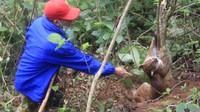 Baru-baru ini seekor kucing emas yang langka terkena perangkap di kebun warga di Kabupaten Agam (dok Istimewa)