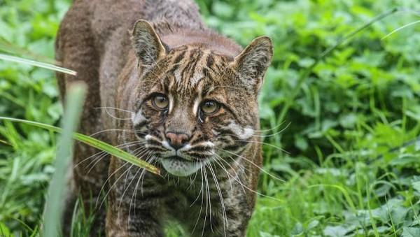 Menurut situs Lembaga internasional untuk konservasi alam (IUCN), kucing emas tersebar di beberapa tempat di dunia termasuk Indonesia. Kalau di Indonesia, kucing emas dapat ditemui di Pulau Sumatera (istimewa)