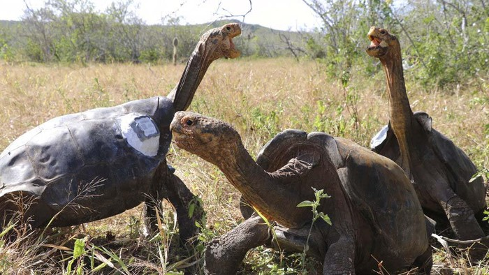 In this photo released by Galapagos National Park, park worker Johannes Ramirez releases a giant tortoise he carried on his back to its original habitat on Isla Espanola, Galapagos National Park, Ecuador, Monday, June 15, 2020. The release, along with iwth other tortoises, marks the end of a captive breeding program aimed at saving the species from extinction, in which adult tortoises were taken to a park breeding center, and then returned here to their original habitat. (Galapagos National Park via AP)