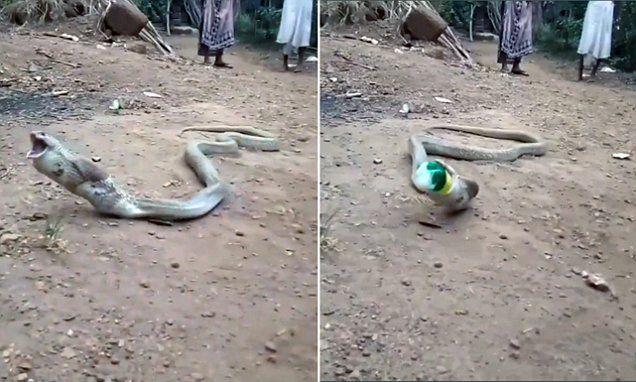 ular makan botol