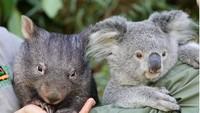 Persahabatan Koala dan Wombat yang Menggemaskan