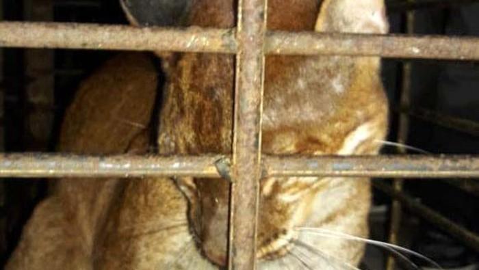 Seekor kucing emas terjerat perangkap babi di Kabupaten Agam, Sumatera Barat. Hewan dengan nama latin Cotopuma temminckii itu mengalami luka di kaki kiri bagian depan.