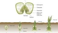 Tumbuhan Monokotil dan Dikotil: Perbedaan hingga Contohnya