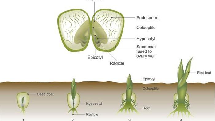 Tumbuhan Monokotil Dan Dikotil Perbedaan Hingga Contohnya