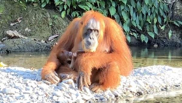 Perjumpaan terbaik selama di Bukit Lawang adalah ketika melihat Orang Utan dengan bayi di sungai. Rasanya sungguh luar biasa bertemu satwa liar langsung di habitatnya. (dok. Jeff Yip/alifeofy)