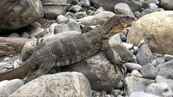 Di Bukit Lawang, mereka kemana-mana berjalan kaki. Seringkali mereka bertemu dengan biawak, bahkan sekali-dua kali ketemu ular. (dok. Jeff Yip/alifeofy)