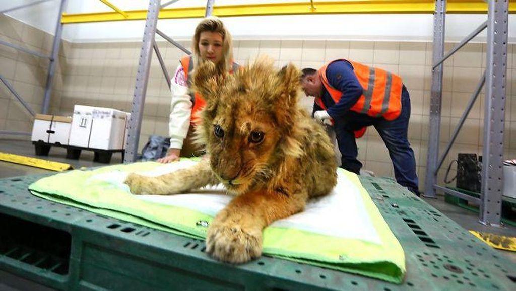 Miris! Anak Singa di Rusia Disiksa Untuk Berfoto Dengan Turis