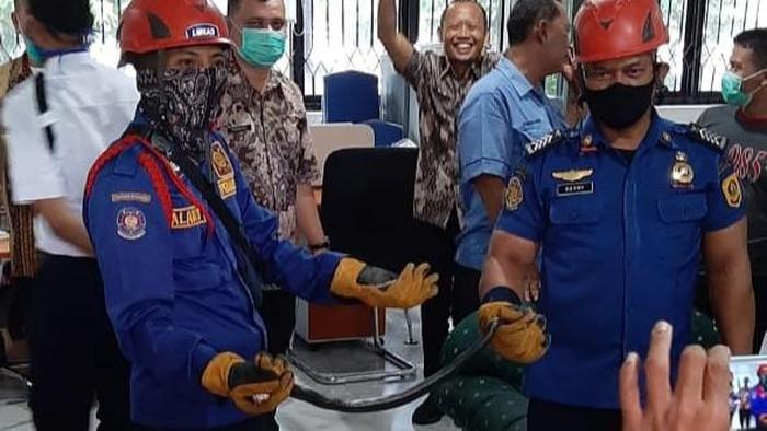 Ular kobra jawa yang ditemukan di kantor Setda Kabupaten Bogor (Istimewa)