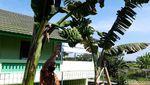 Unik! Pohon Pisang Ini Batang dan Tandannya Bercabang Lho