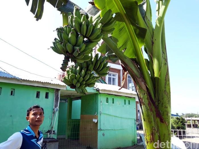 Empat pohon pisang di Boyolali menarik perhatian warga. Pasalnya beberapa pohon itu batang dan tandan pisangnya bercabang. Penasaran?