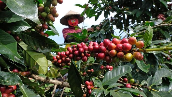 Petani memetik kopi Arabika (Coffea arabica) di perladangan lereng gunung Sindoro Desa Canggal, Candiroto, Temanggung, Jawa Tengah, Jumat (19/6/2020). Menurut petani, musim panen tahun ini harga kopi Arabika merosot tajam menjadi Rp5.000 per kilogram dari harga tahun sebelumnya yang mencapai Rp9.000 per kilogram biji basah di tingkat petani. ANTARA FOTO/Anis Efizudin/pras.