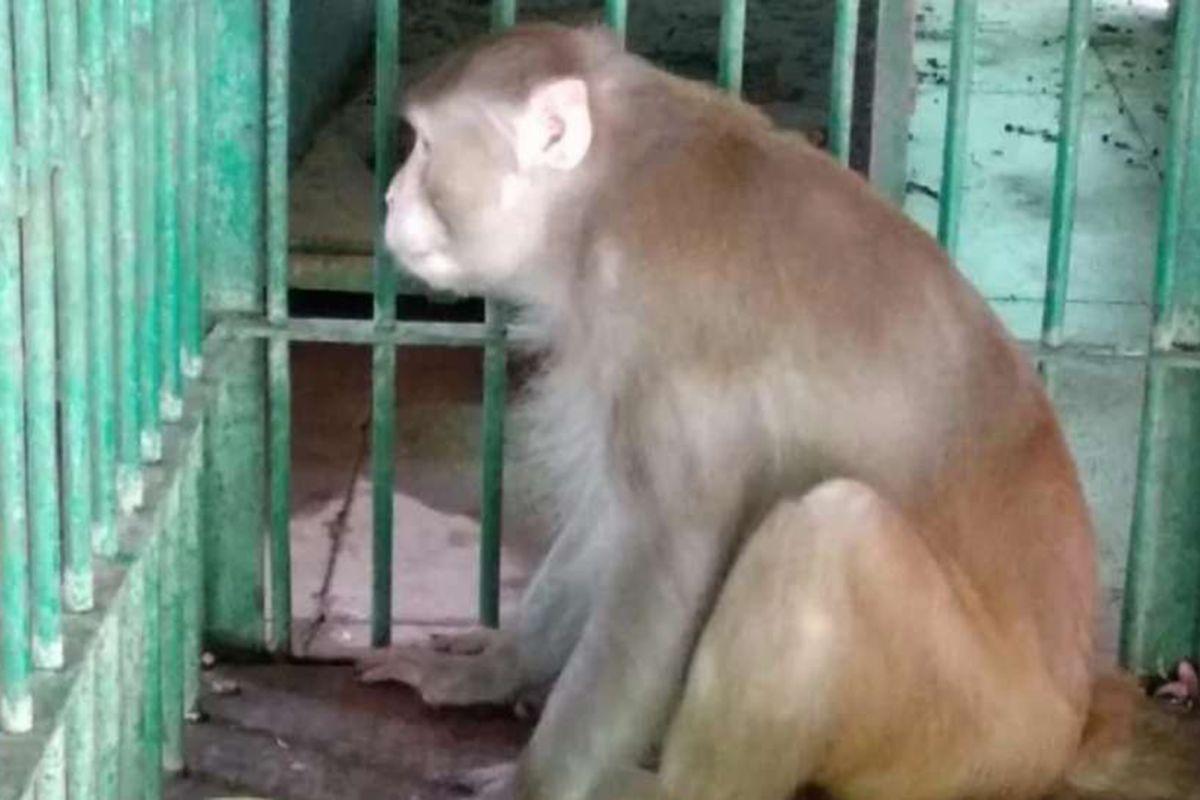 Mirip Manusia, 5 Aksi Monyet Makan Sampai Diet Ini Jadi Viral