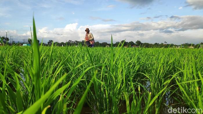 Petani di Maros Sulsel telat memupuk padi karena pupuk subsidi langka (Bakrie-detikcom).