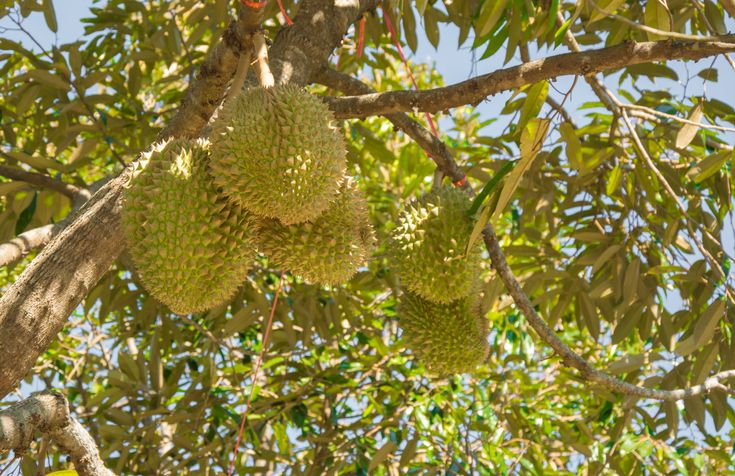 Petani durian pasang hantu pocong untuk menakuti pencuri