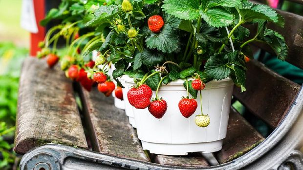 Strawberries in white pots in a row on a bench
