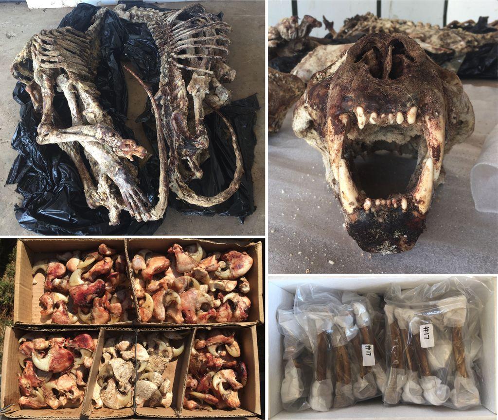Tulang Singa Jadi Obat dan Wine