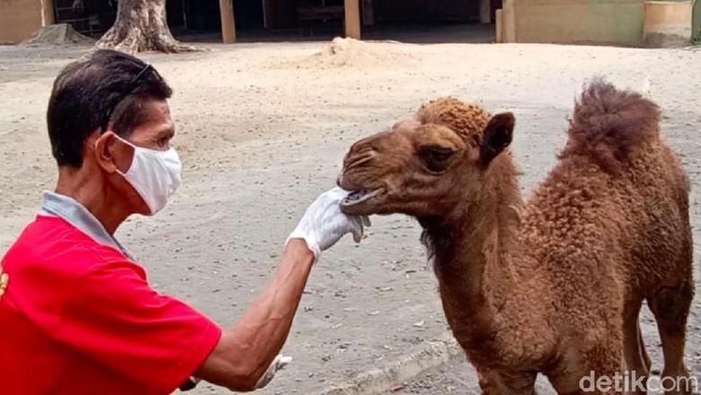 Unta Dovir Olan di Solo Zoo