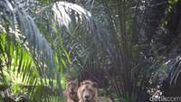 Dua ekor singa terlihat beraktivitas di dalam kandang.