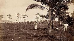Kebun Kopi Pertama di Indonesia Ada di Pondok Kopi Jakarta Timur