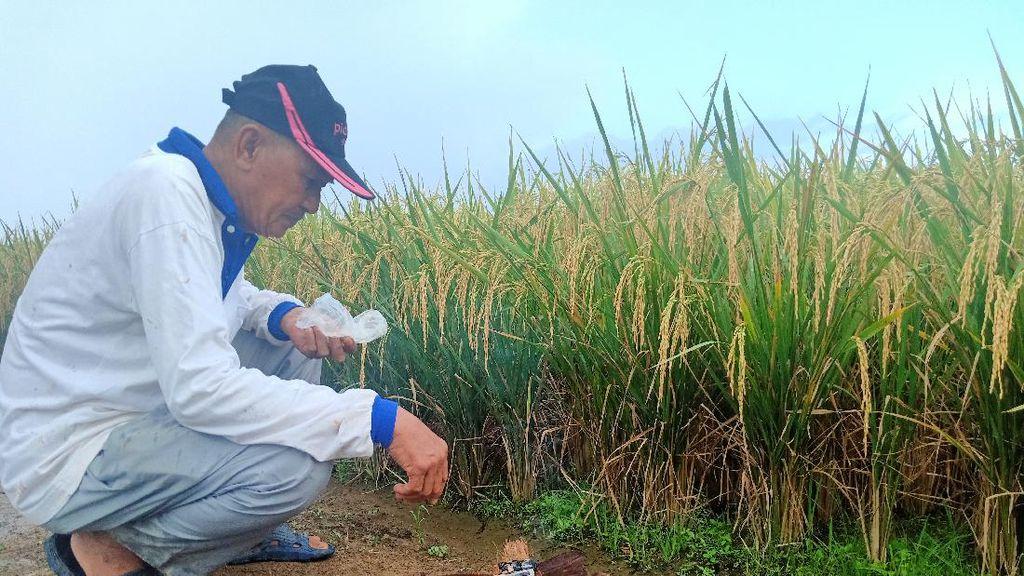 Melihat Kenduri Nasi Santan Sambut Panen Raya Suku Lembak di Bengkulu