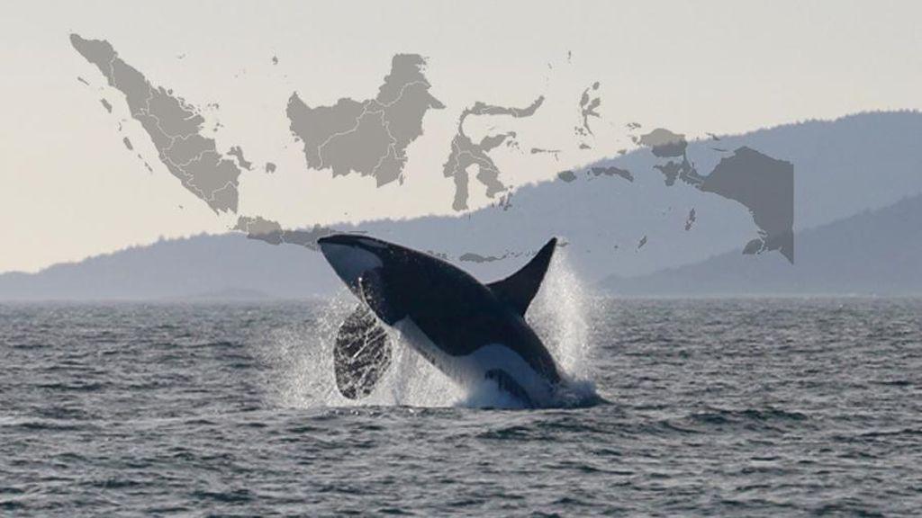 Penampakan Orca di Indonesia