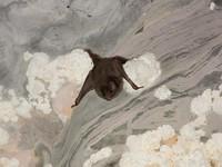 Desmodus rotundus in a limestone cave. Kelawar penghisap darah hewan ternak di Amerika Tengah