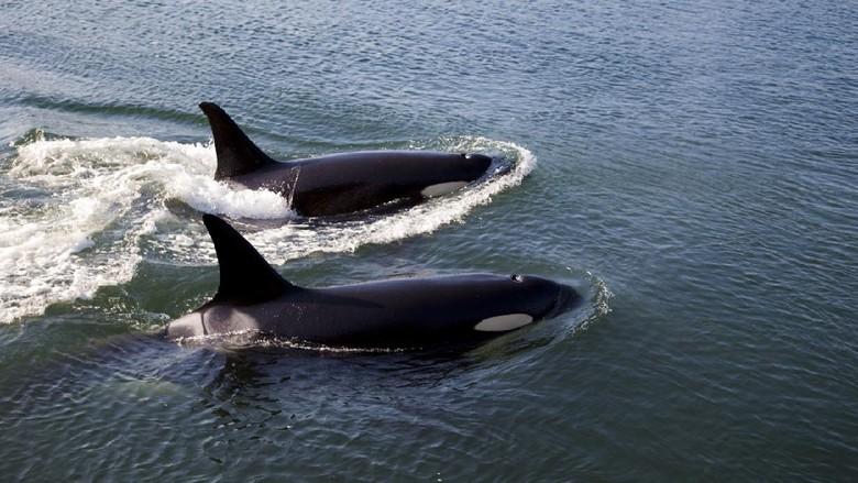 orca atau paus pembunuh