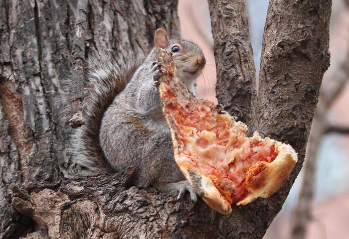 tupai makan pizza
