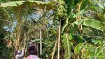 Aneh Tapi Nyata, Pohon Pisang di Kulon Progo Punya 3 Tandan