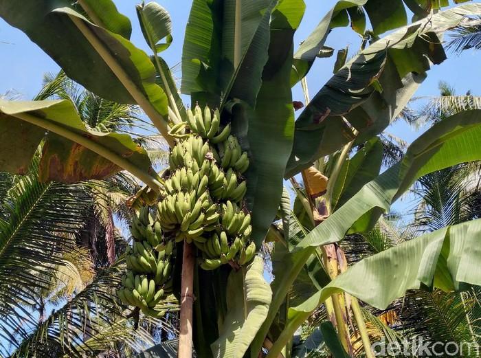 Sebuah pohon pisang di Kulon Progo jadi sorotan karena tak lazim. Pohon pisang itu tak biasa karena memiliki tiga tanda. Berikut potretnya.