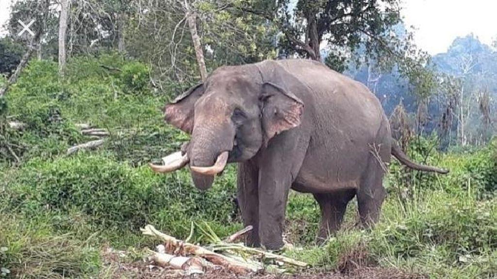 Warga Inhil Riau Diserang Gajah Liar Saat Akan Ambil Foto