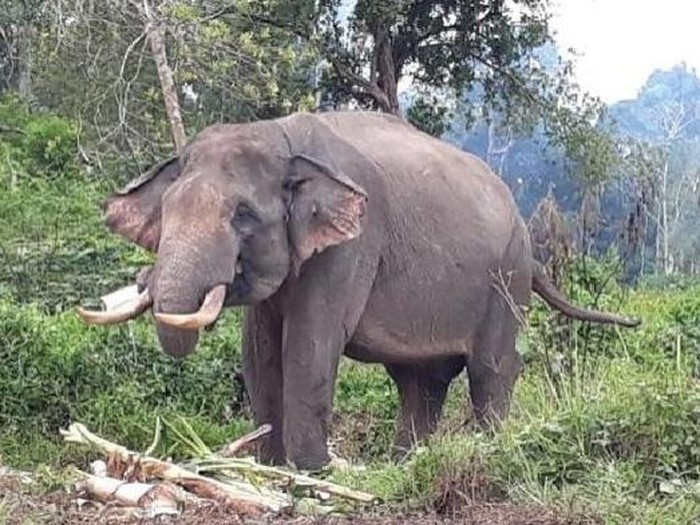 Kawanan gajah masuk kampung di OKI Sumsel (Foto: Dok. Kepala Desa Cengal)