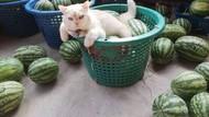 Pearl, Kucing Berwajah Galak yang Jadi Pengawas Kebun Semangka