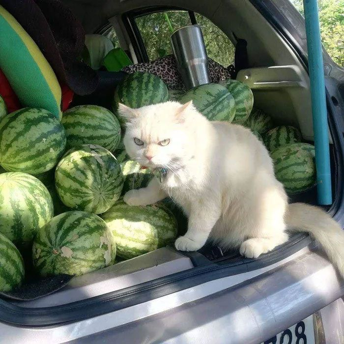 Kucing 'galak' pengawas kebun semangka