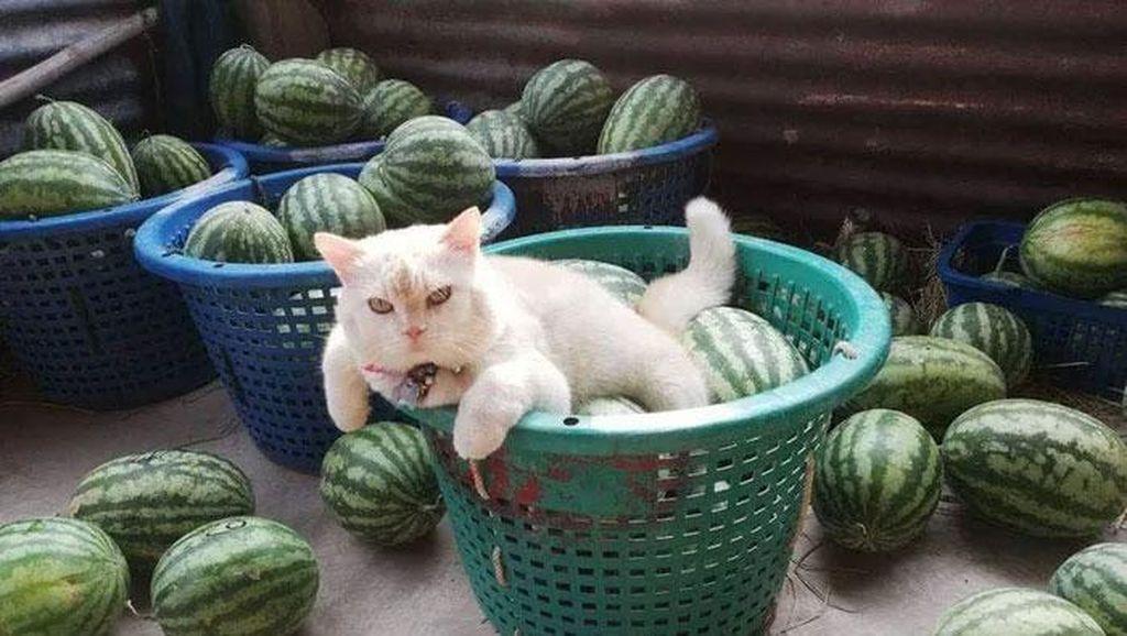 Potret Kucing Pemarah tapi Tetap Imut