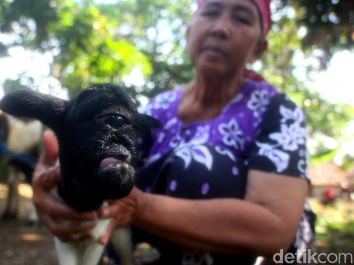 Warga Sumedang dihebohkan dengan anak kambing bermata satu. Segelintir warga menyebutnya kambing 'dajjal'. Berikut potretnya.