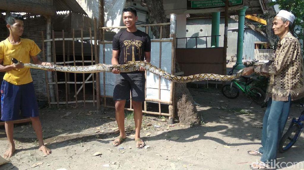 5 Bulan Teror Warga, Seekor Ular Sanca Kembang Ditangkap di Mojokerto