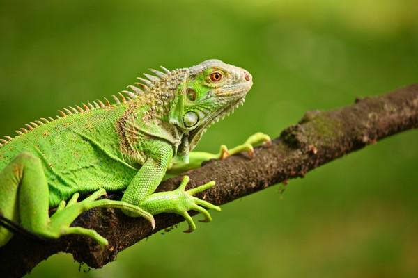 Data keanekaragaman hayati mengalami kesenjangan besar selama pandemi COVID-19. Iguana batu Turks, Caicos, dan katak Yunnan dari China juga menunjukkan peningkatan jumlah spesies. (Foto: iStock)