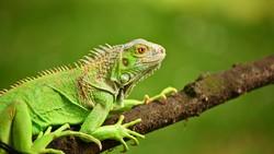 Hati-hati, Iguana di Amerika Sekarang Lebih Tahan Dingin