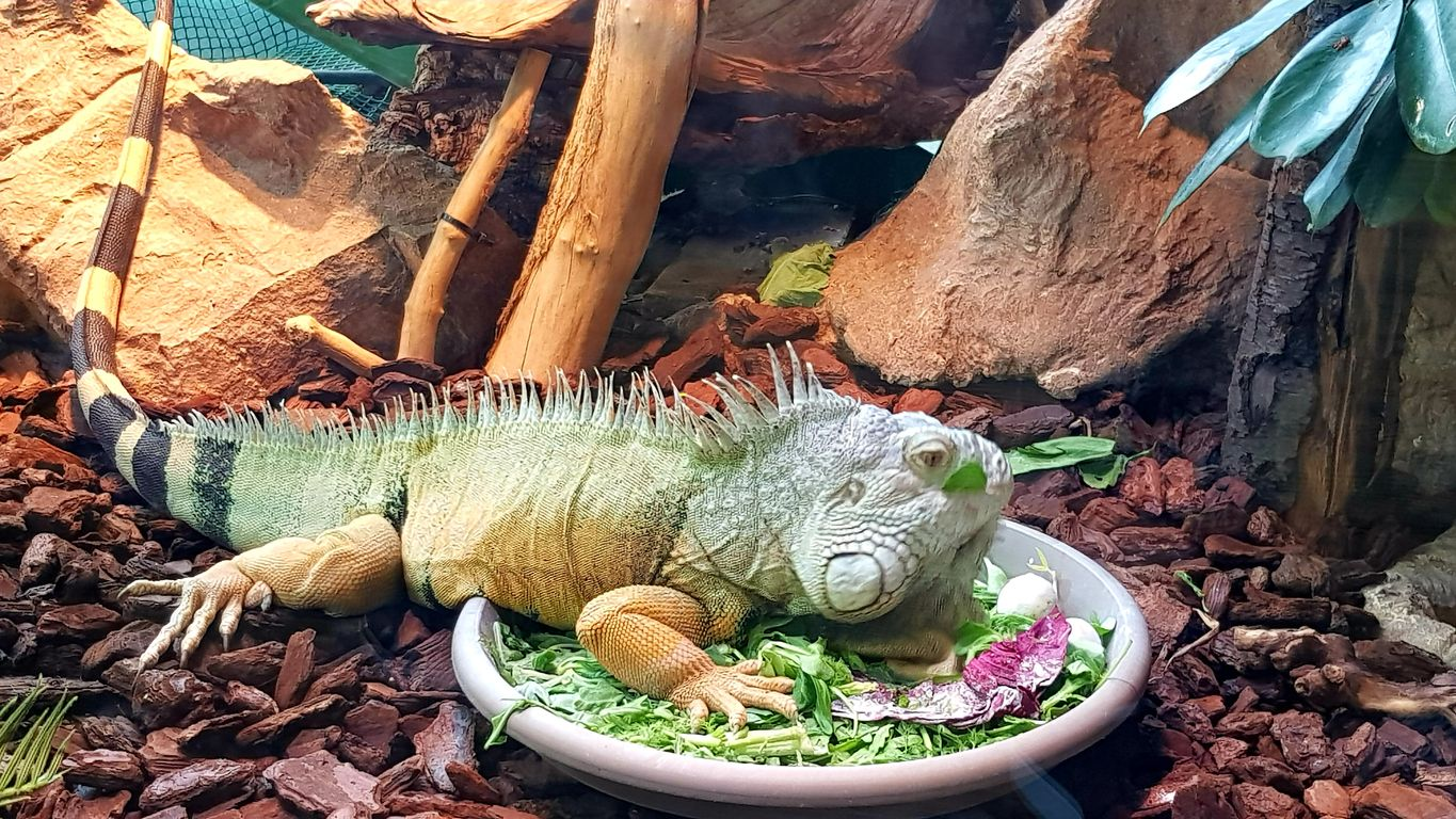 Iguan and her meal