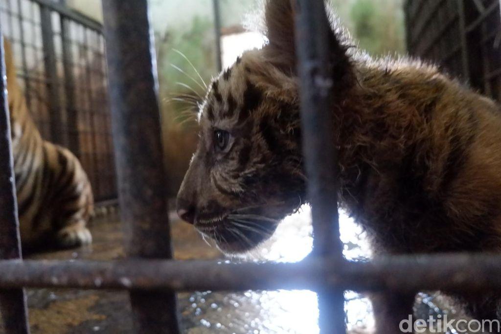 Harimau benggala di Taman Rekreasi Margasatwa Serulingmas Banjarnegara