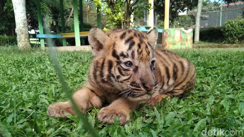 koleksi harimau di Taman Rekreasi Margasatwa Serulingmas (TRMS) Banjarnegara bertambah. Seekor bayi harimau benggala ini lahir dengan berat 3 kilogram.