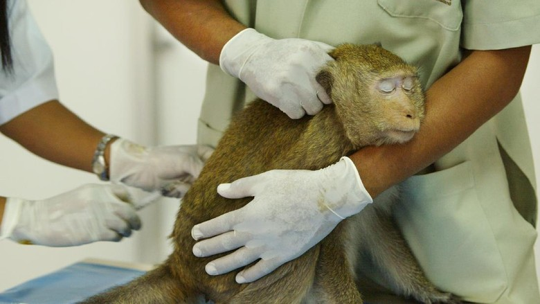 LOPBURI, THAILAND - FEBRUARY 16:  A monkey sits while he gets a vaccination by Veterinarian Juthamas Supanam at the Lopburi Monkey Hospital in Lopburi on February 16, 2004, about 160 kilometers north of Bangkok, in Lopburi, Thailand. The hospital takes care of the hundreds of monkeys who live at the Phra Prang Sam Yot temple.They are tolerated by the Thai people even though they end up getting into trouble on a daily basis running into oncoming traffic and stealing food.  (Photo by Paula Bronstein/Getty Images)