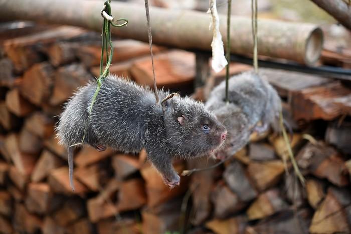 Tikus Bambu Dimusnahkan di China
