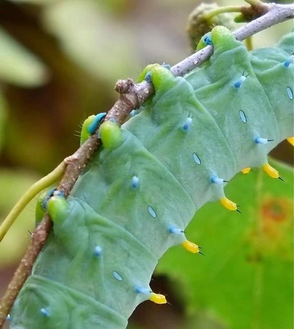 Diujung kakinya terdapat cakar kecil. Cakar ini yang mereka gunakan untuk menahan batang pohon atau daun tempat mereka bertengger. (Bored Panda)