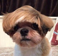 gemasnya rambut anjing